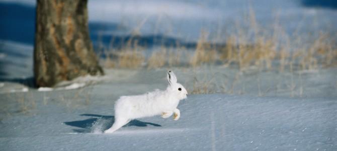 Советы по охоте на зайца с подхода