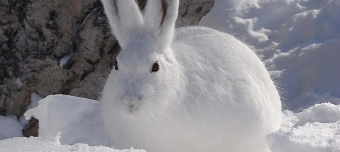 петли на зайца?