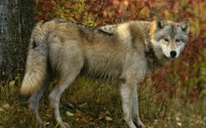 Охота на волка с собаками