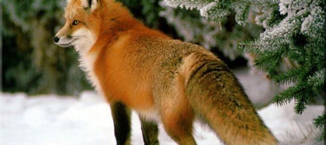 Об охоте с манком на хитрую лису