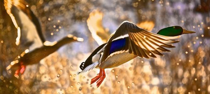 Как вернуться с весенней охоты на уток с богатой добычей?