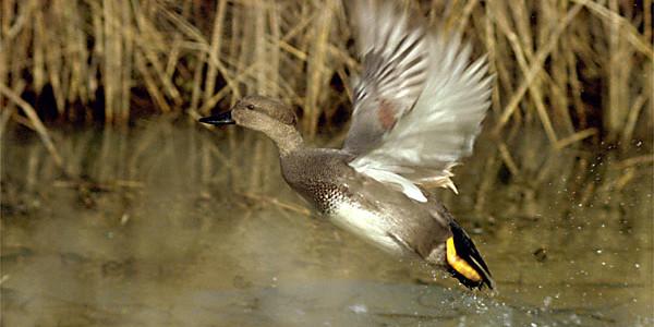 Открытие охоты на утку: все, что необходимо знать в 2017 году