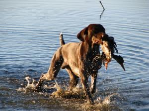 Собака несет утку