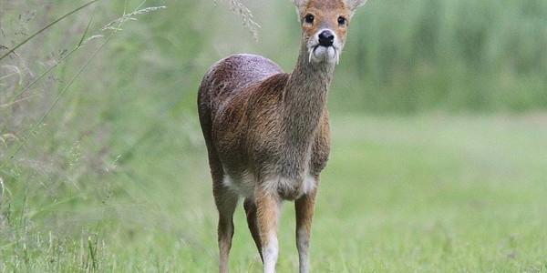 Записки охотника: как добыть зверя. Охота на кабаргу