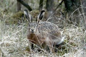 Заяц прячется