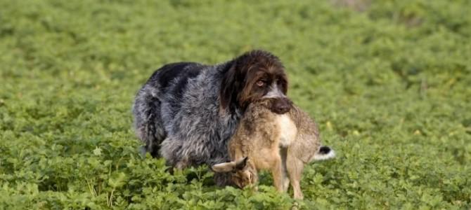 Интересное видео и полезная информация об охоте с гончими на зайца