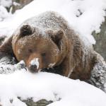 Зимний медведь