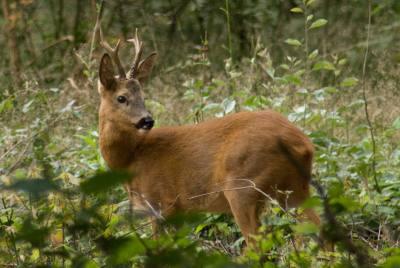 Охота на косулю – интересное видео и полезные советы