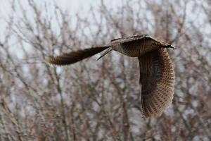 Летящий вальдшнеп