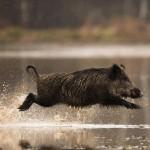 Правила и особенности загонной охоты на кабана