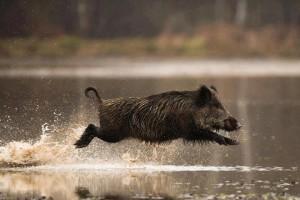 Кабан бежит