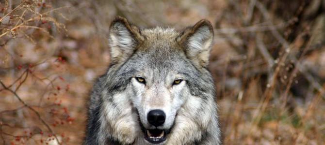 Способы охоты на волка во все сезоны