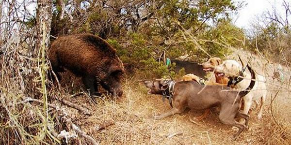 Охота на кабана загоном (Полезное видео)