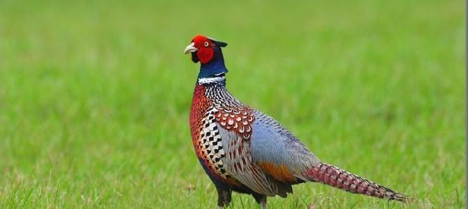 Охота на фазана: нюансы, которые необходимо знать