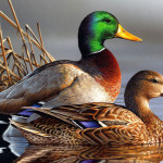 Открытие осенней охоты 2019 на утку – сроки и правила охоты